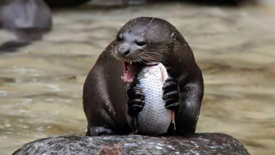nutria gigante comiendo pescado