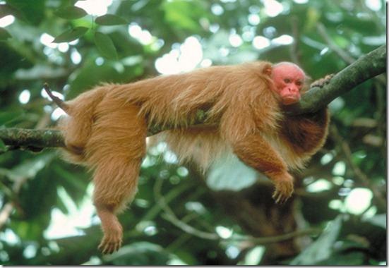uacari animales de la selva de brasil